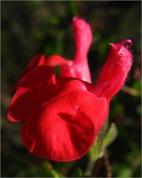 Image of Salvia microphylla