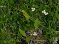 Image of Alisma lanceolatum