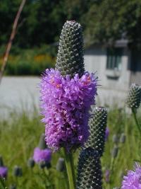 Image of Dalea purpurea