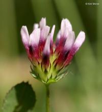 Image of Trifolium variegatum