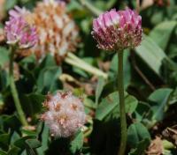 Image of Trifolium fragiferum