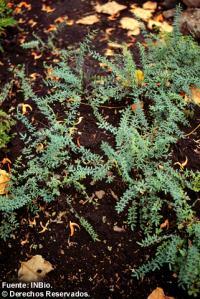Image of Pellaea ternifolia