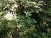 Image of Lupinus latifolius