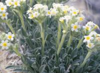 Image of Cryptantha fulvocanescens