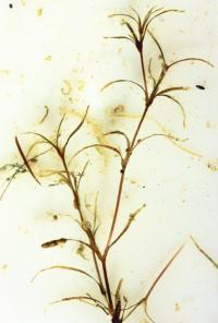 Najas flexilis image