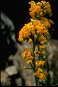 Image of Cryptantha confertiflora