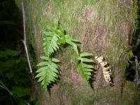 Image of Polypodium glycyrrhiza