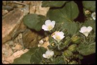 Image of Phacelia neglecta