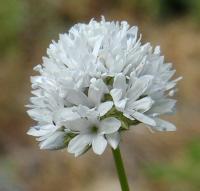 Image of Gilia capitata
