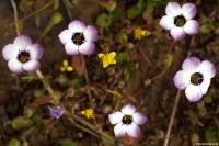 Image of Gilia tricolor