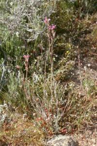 Image of Arabis sparsiflora