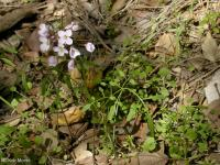 Image of Cardamine californica
