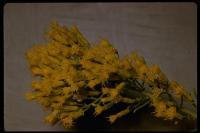 Image of Ericameria paniculata
