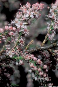 Image of Tamarix parviflora