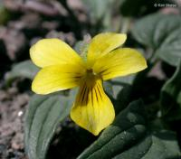 Image of Viola purpurea