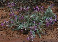 Image of Astragalus zionis