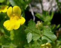 Image of Mimulus tilingii
