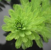 Image of Myriophyllum aquaticum