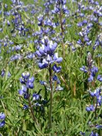 Image of Lupinus bicolor