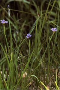 Image of Sisyrinchium idahoense