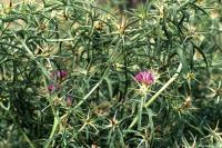 Image of Centaurea calcitrapa