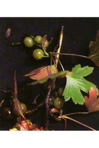 Image of Ribes inerme