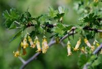 Image of Ribes quercetorum