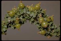 Image of Ribes velutinum