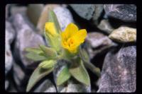 Image of Mohavea breviflora