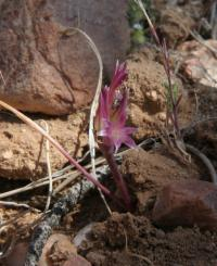 Image of Allium parishii