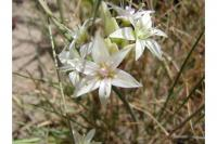 Image of Allium nevadense