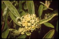 Image of Croton californicus