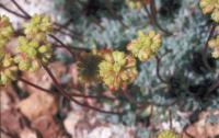 Image of Eriogonum caespitosum