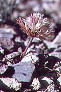 Allium atrorubens image