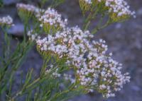 Image of Eriogonum leptophyllum