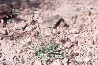 Image of Eriogonum maculatum