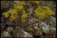 Image of Eriogonum microthecum