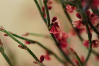 Image of Eriogonum nidularium