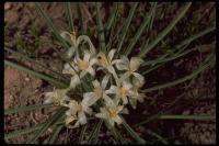 Image of Leucocrinum montanum
