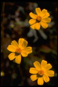 Image of Coreopsis californica