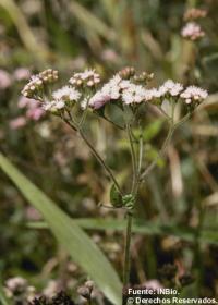 Image of Fleischmannia pycnocephala