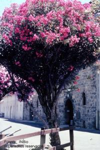 Image of Nerium oleander
