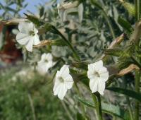 Image of Nicotiana clevelandii