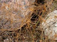 Image of Cuscuta californica
