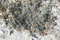 Image of Astragalus argophyllus