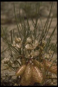 Image of Astragalus ceramicus