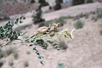 Image of Astragalus oophorus