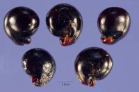 Dondia fruticosa image