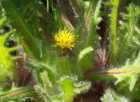 Image of Centaurea benedicta