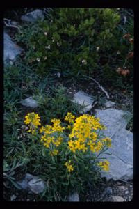 Image of Erysimum asperum